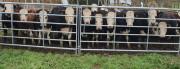cattle-hurdles-3